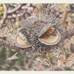 Banksia-Baxteri---Albany-GEOFF-SARGEANT